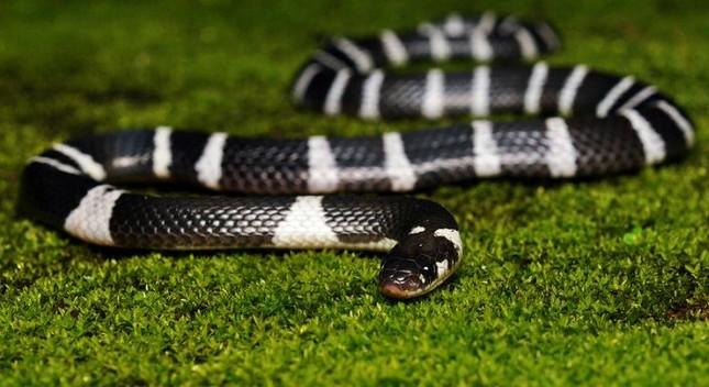 TOP những loài rắn độc nhất hành tinh [Video] - anh 5