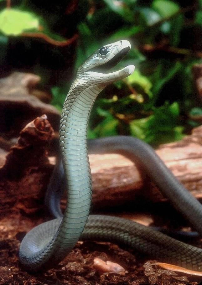TOP những loài rắn độc nhất hành tinh [Video] - anh 7