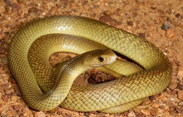 TOP những loài rắn độc nhất hành tinh [Video] - anh 6