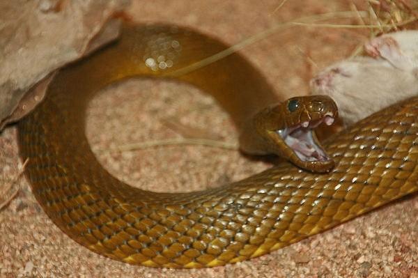 TOP những loài rắn độc nhất hành tinh [Video] - anh 2