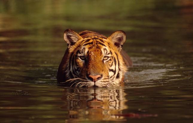 Những bí mật chưa từng biết về loài Hổ - anh 6