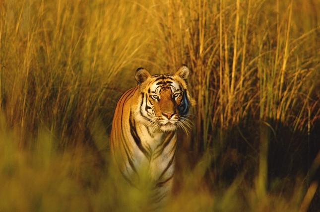 Những bí mật chưa từng biết về loài Hổ - anh 2