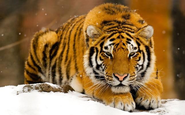 Những bí mật chưa từng biết về loài Hổ - anh 1