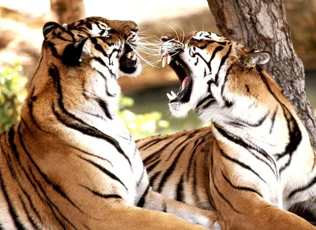 Những bí mật chưa từng biết về loài Hổ - anh 4