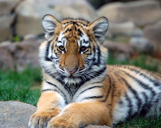 Những bí mật chưa từng biết về loài Hổ - anh 7