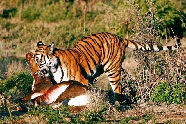 Những bí mật chưa từng biết về loài Hổ - anh 5