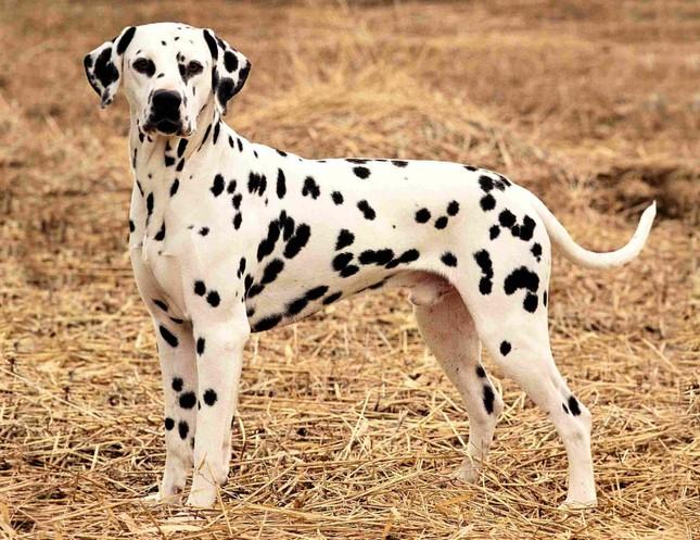 Top 5 loài chó thông minh nhất thế giới - anh 12