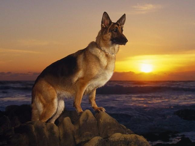 Top 5 loài chó thông minh nhất thế giới - anh 3