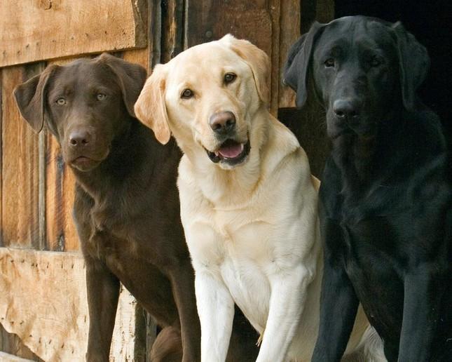 Top 5 loài chó thông minh nhất thế giới - anh 2