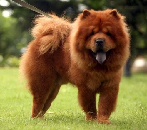 Top 5 loài chó thông minh nhất thế giới - anh 13