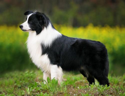 Top 5 loài chó thông minh nhất thế giới - anh 6