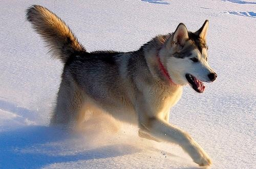 Top 5 loài chó thông minh nhất thế giới - anh 14