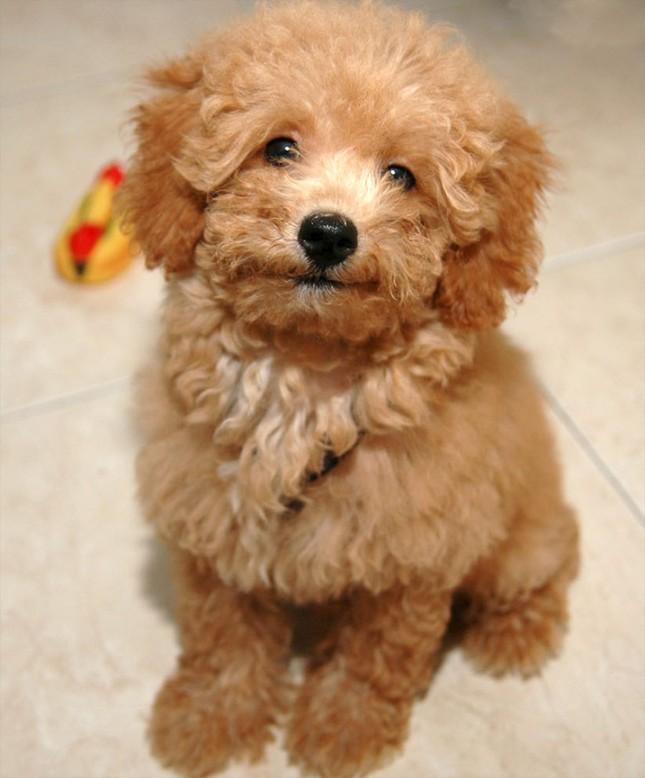 Top 5 loài chó thông minh nhất thế giới - anh 7