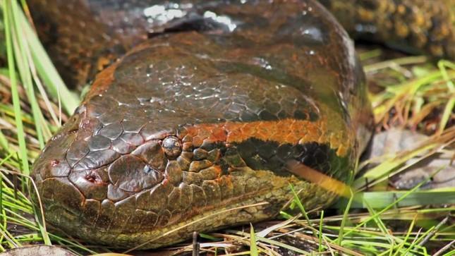 Sự thật về Titanoboa - Quái vật rắn khổng lồ nhất lịch sử Trái đất - anh 6
