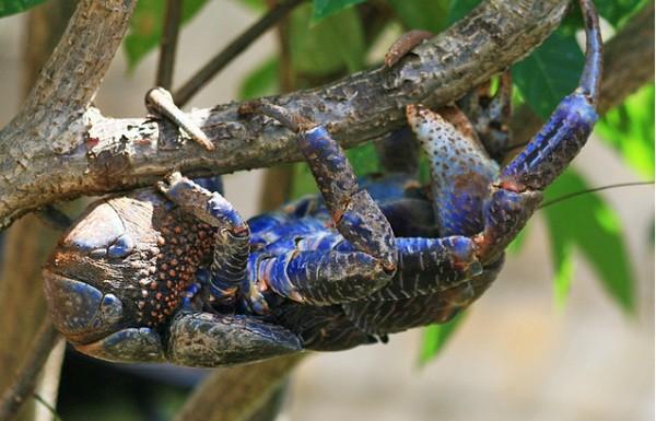Cua Dừa - Loài động vật chân đốt trên cạn lớn nhất thế giới - anh 3