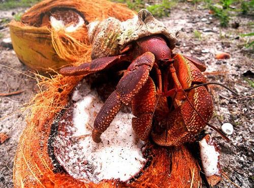 Cua Dừa - Loài động vật chân đốt trên cạn lớn nhất thế giới - anh 2