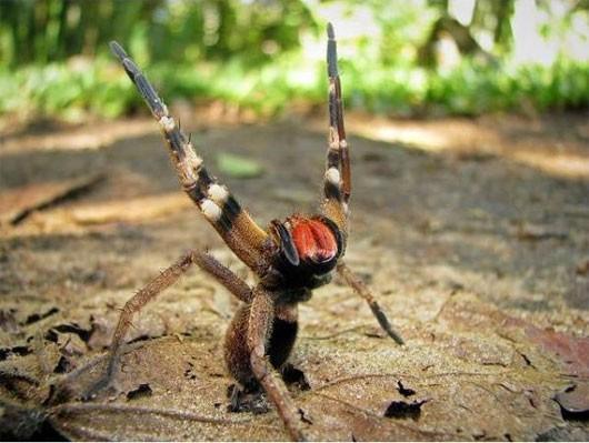 Vũ khí đáng sợ của loài nhện độc nhất thế giới - anh 3