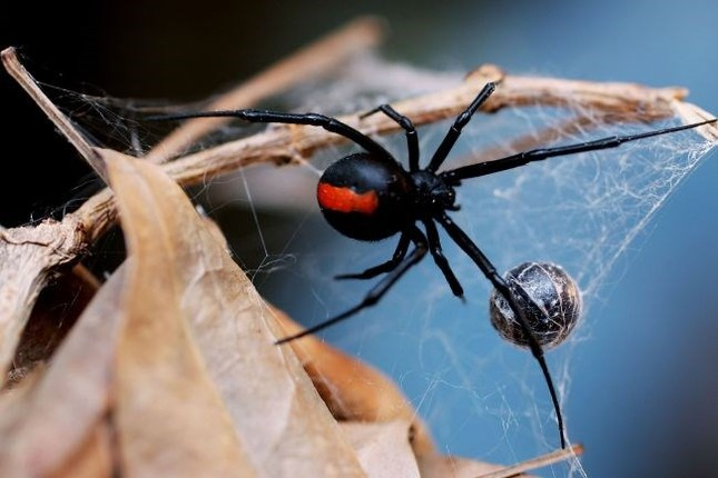 Vũ khí đáng sợ của loài nhện độc nhất thế giới - anh 5