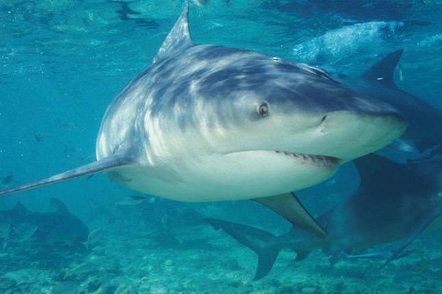 Cá mập ngày càng hung dữ vì Trái đất nóng lên - anh 1
