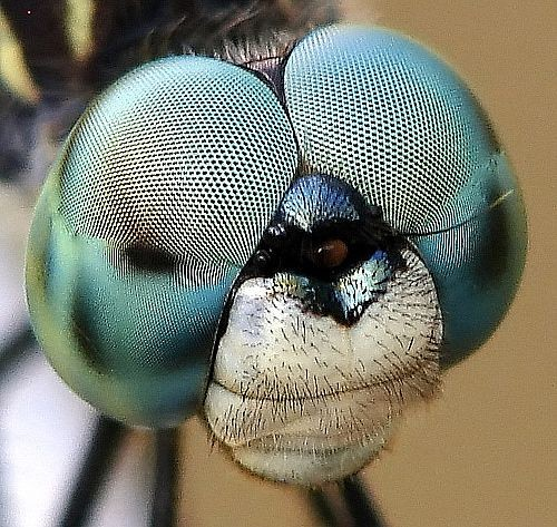 Cấu tạo 'thần kỳ' của mắt Ruồi - Loài có phản ứng thị giác nhanh nhất thế giới động vật - anh 2