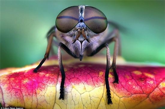 Cấu tạo 'thần kỳ' của mắt Ruồi - Loài có phản ứng thị giác nhanh nhất thế giới động vật - anh 1