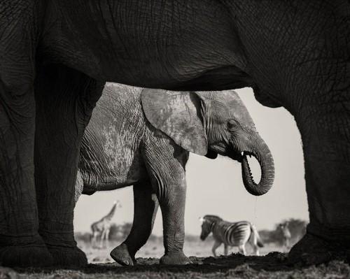 Ấn tượng 10 bức ảnh động vật hoang dã đẹp nhất 2015 - anh 4
