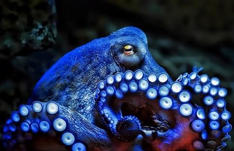 Funfact: Khám phá thế giới loài Bạch tuộc - anh 1