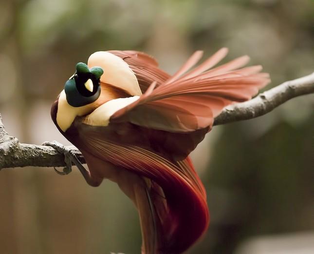 Vẻ đẹp 'hút hồn' của loài chim Thiên Đường - anh 10
