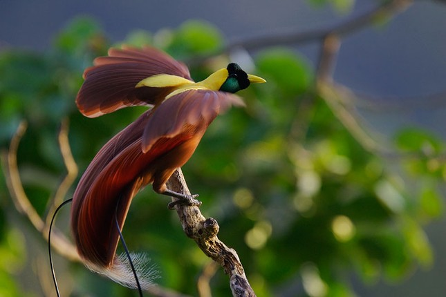 Vẻ đẹp 'hút hồn' của loài chim Thiên Đường - anh 2
