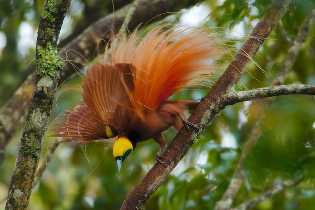 Vẻ đẹp 'hút hồn' của loài chim Thiên Đường - anh 3