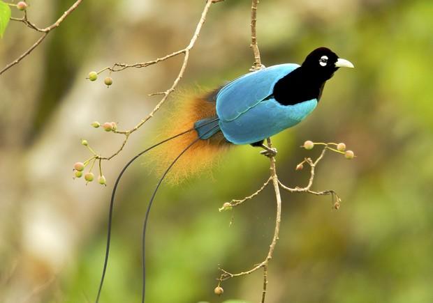 Vẻ đẹp 'hút hồn' của loài chim Thiên Đường - anh 4