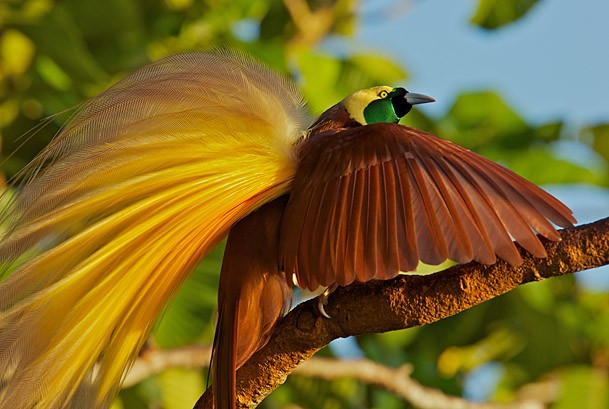 Vẻ đẹp 'hút hồn' của loài chim Thiên Đường - anh 5