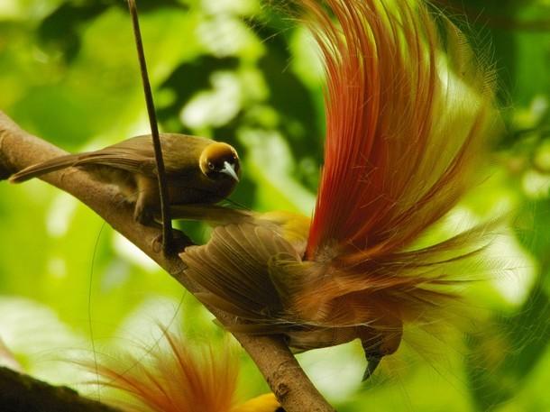 Vẻ đẹp 'hút hồn' của loài chim Thiên Đường - anh 6