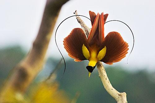 Vẻ đẹp 'hút hồn' của loài chim Thiên Đường - anh 7