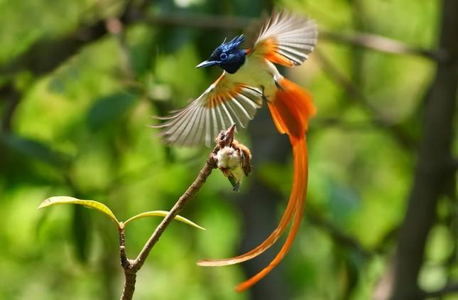 Vẻ đẹp 'hút hồn' của loài chim Thiên Đường - anh 1