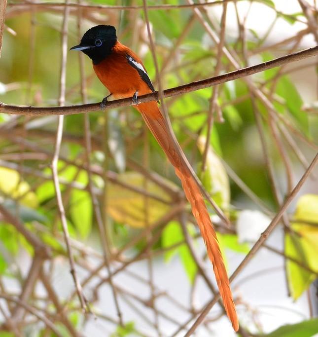 Vẻ đẹp 'hút hồn' của loài chim Thiên Đường - anh 9