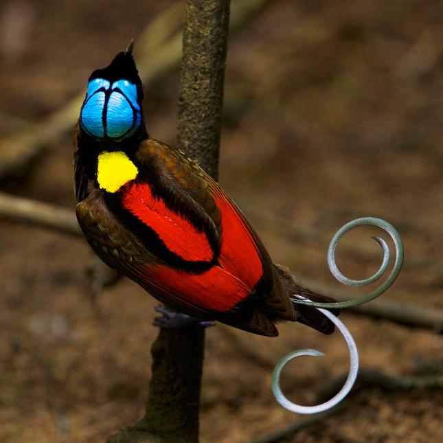 Vẻ đẹp 'hút hồn' của loài chim Thiên Đường - anh 12