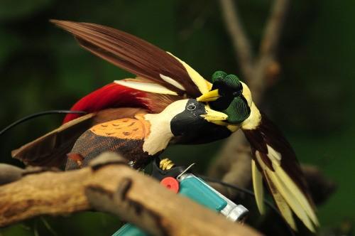 Vẻ đẹp 'hút hồn' của loài chim Thiên Đường - anh 11
