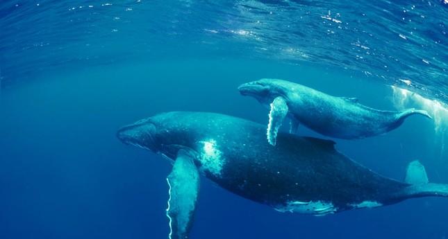 Đại dương bí ẩn: Khám phá thế giới bí mật của loài Cá voi - anh 4