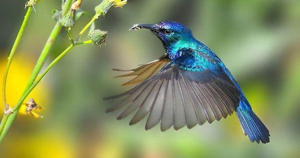 Bộ ảnh: Vẻ đẹp thiên thần của loài chim Ruồi - anh 2