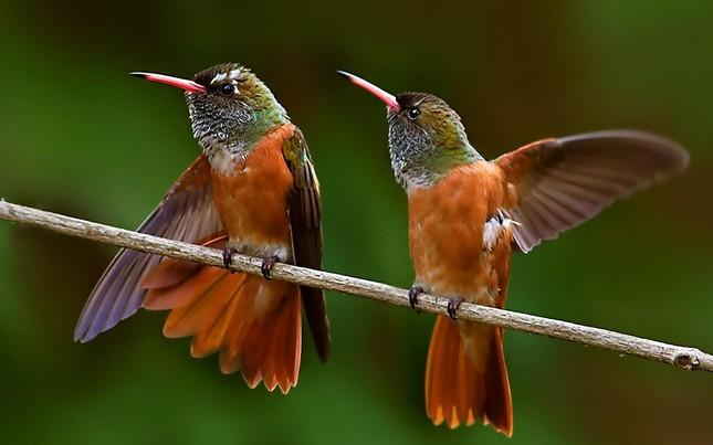 Bộ ảnh: Vẻ đẹp thiên thần của loài chim Ruồi - anh 11