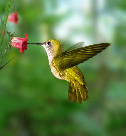 Bộ ảnh: Vẻ đẹp thiên thần của loài chim Ruồi - anh 1