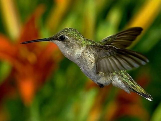 Bộ ảnh: Vẻ đẹp thiên thần của loài chim Ruồi - anh 12