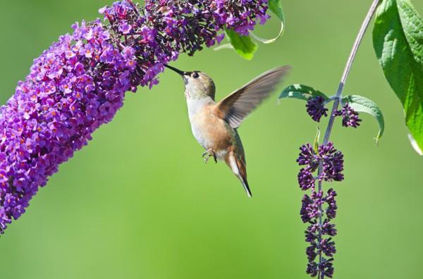 Bộ ảnh: Vẻ đẹp thiên thần của loài chim Ruồi - anh 6