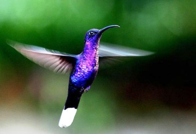 Bộ ảnh: Vẻ đẹp thiên thần của loài chim Ruồi - anh 7