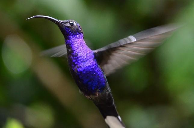 Bộ ảnh: Vẻ đẹp thiên thần của loài chim Ruồi - anh 8