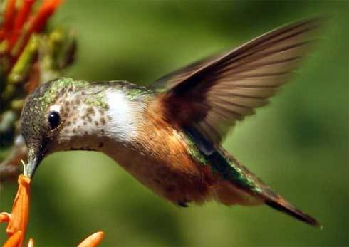 Bộ ảnh: Vẻ đẹp thiên thần của loài chim Ruồi - anh 9