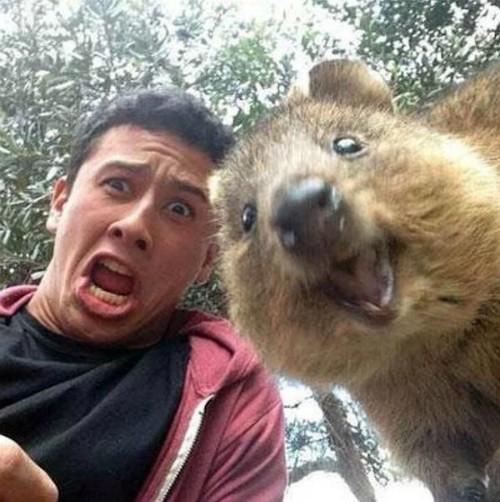 Những bức ảnh tự sướng 'bá đạo' nhất của Quokka - Loài vật hạnh phúc nhất thế giới - anh 2