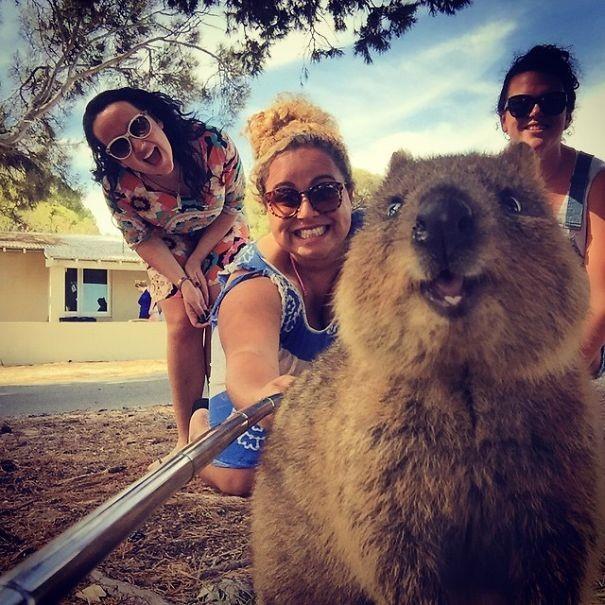 Những bức ảnh tự sướng 'bá đạo' nhất của Quokka - Loài vật hạnh phúc nhất thế giới - anh 3