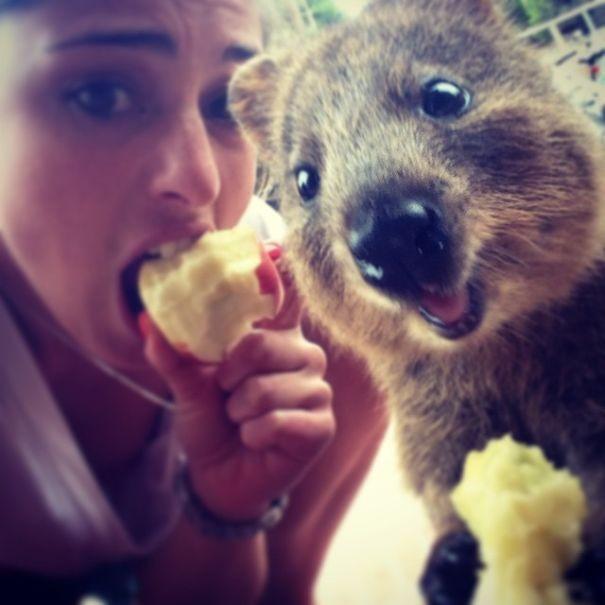 Những bức ảnh tự sướng 'bá đạo' nhất của Quokka - Loài vật hạnh phúc nhất thế giới - anh 4